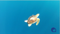 Sos  tartarughe. L'Iamc si tuffa in mare