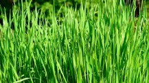 farro - spelled plant - triticum monococcum