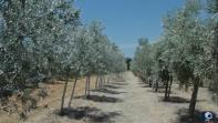 Olivicoltura in Toscana e in Italia