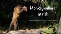 La cultura delle scimmie è a rischio